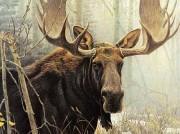 """Bull Moose"" Lithograph by Robert Bateman"